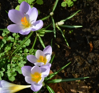 Crocus on Golf links Road. Copyright:  Keep Kilkenny Beautiful.
