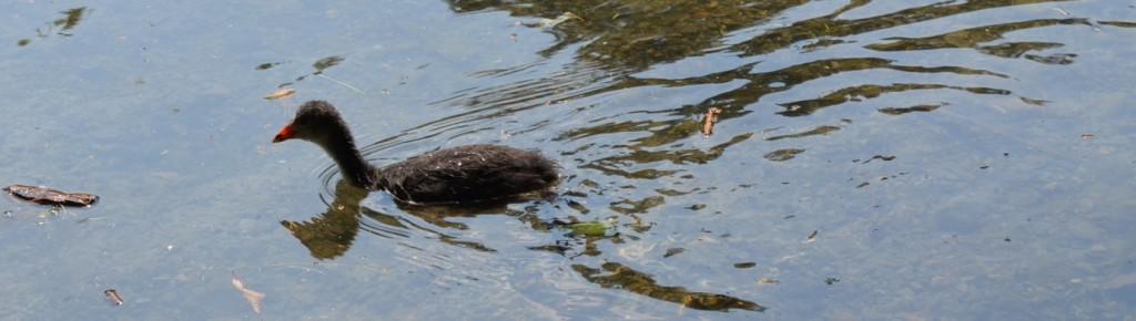 duck 4