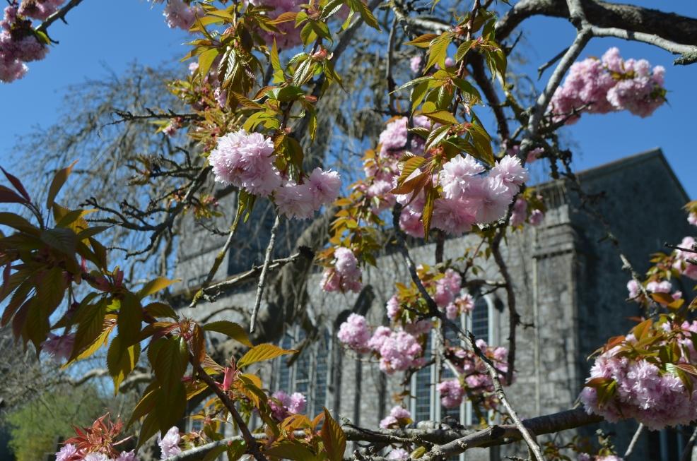 Cherry  in full bloom at St John's Church, John st.,  Kilkenny