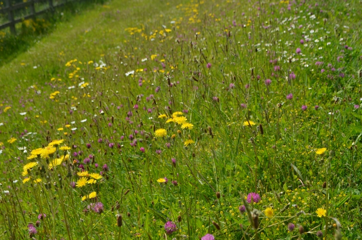 Wild flower meadow at County Hall along river Nore
