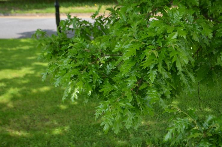 Leaves of the Sessile oak (Quercus petraea) Dair ghaelach