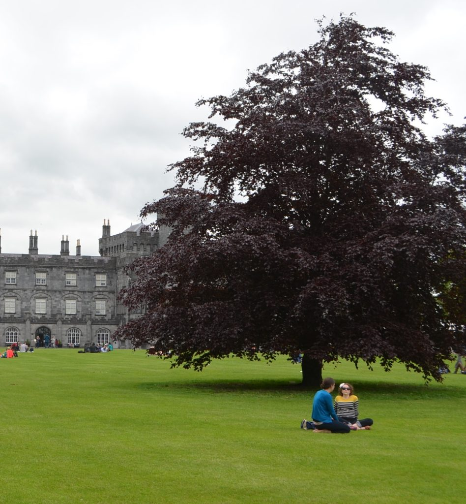 Copper Beech Trees (Fagus Sylvatica Atropurperea) A fine purple beech in castle park planted c 20-25 years ago from seed from a previous tree in the same location. its attractive colour is a wonderful foil to Kilkenny Castle